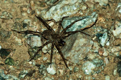 Wolf spider eating his prey Royalty Free Stock Images