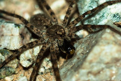 Wolf spider eating his prey Royalty Free Stock Photos