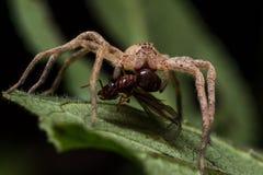 Wolf Spider Eats Red Ant en la hoja verde Foto de archivo libre de regalías