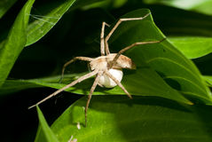 Wolf spider with egg sack stock photography