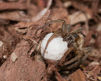 Wolf Spider With Egg Sack stock photos