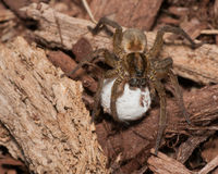 Wolf Spider With Egg Sack Royalty Free Stock Image