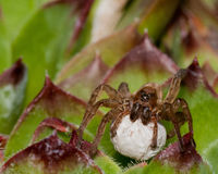 Wolf Spider With Egg Sack Royalty Free Stock Photos