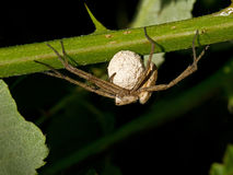 Wolf Spider with Eggs Stock Images