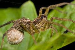 Wolf spider with eggsac Stock Photography