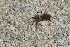Wolf Spider - espèces inconnues photographie stock libre de droits