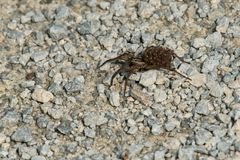 Wolf Spider - espécie desconhecida fotografia de stock royalty free