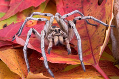Wolf spider on fall leaves. A wolf spider is crawling through fall leaves Stock Photography