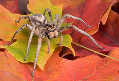 Wolf spider on fall leaves. A female wolf spider is crawling through fall leaves Royalty Free Stock Photography