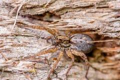 Wolf Spider femminile fotografia stock libera da diritti