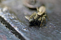 Wolf Spider with Fly Stock Image