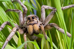 Wolf spider in grass Stock Photos