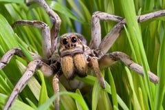 Wolf spider in grass stock photos