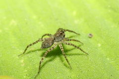 Wolf spider on green leaf in garden Stock Photo