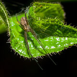 Wolf Spider on green leaf Royalty Free Stock Photos