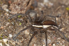 Wolf spider on ground. Royalty Free Stock Images