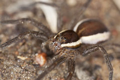 Wolf spider on ground. Stock Photo