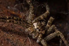 Wolf Spider Hides in Rusty Area Stockfotografie