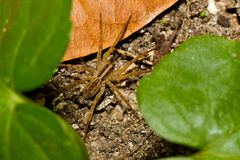 Wolf spider hiding between leafs in the jungle. Stock Photography