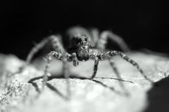 Wolf spider Royalty Free Stock Photos