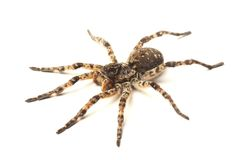 Wolf Spider Isolated On White Royalty Free Stock Photography