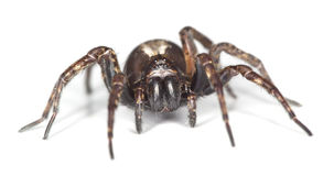 Wolf Spider Isolated On White Background Stock Photography