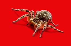 Wolf Spider isolated on red Stock Photography