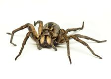 Wolf spider Stock Photo