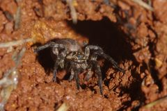 Wolf spider in its burrow. Wolf spider watching for a potential prey awaits in its burrow stock image