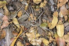Wolf spider, kirindy Stock Photos
