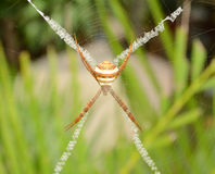 Wolf spider on leaf Royalty Free Stock Image