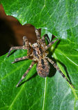 Wolf-spider on leafs Stock Photography