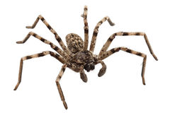 Free Wolf Spider Lycosa Sp Stock Image - 28697751