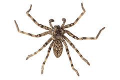 Wolf spider lycosa sp Stock Images