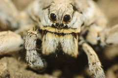 Wolf spider (Lycosa tarantula) Stock Photos