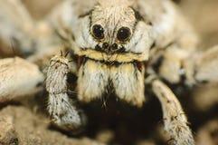 Wolf spider (Lycosa tarantula). Closeup of a  tarantula wolf spider (Lycosa tarantula Stock Photos