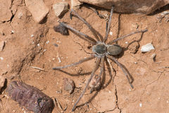 Wolf Spider Lycosidae Royalty Free Stock Photo