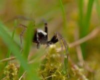 Wolf spider, Lycosidae Pardosa lugubris Royalty Free Stock Photo