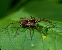 Wolf spider, Lycosidae  sp Stock Photos