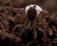 Wolf spider, Lycosidae Trochosa sp Royalty Free Stock Photos