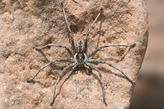 Wolf Spider Lycosidae Stock Photos
