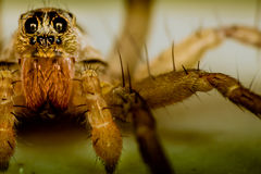 Wolf Spider. In macro photography stock image