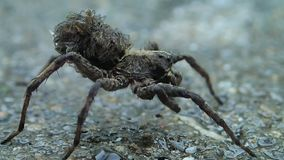 Wolf spider mother cleaning one of its legs stock video