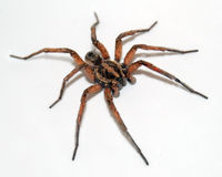 Free Wolf Spider On White Royalty Free Stock Image - 13851966