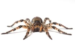 Wolf spider over white Royalty Free Stock Photography