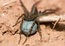 Wolf spider (Pardosa sp.) egg sac Stock Photos
