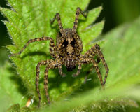 Wolf spider (Pardosa sp.) Royalty Free Stock Photography