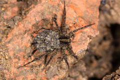 Wolf spider (Pardosa sp.) with spiderlings from above Stock Images
