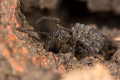 Wolf spider (Pardosa sp.) with spiderlings Royalty Free Stock Photo
