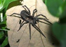 Wolf spider, pico bonito, honduras arachnid Royalty Free Stock Images